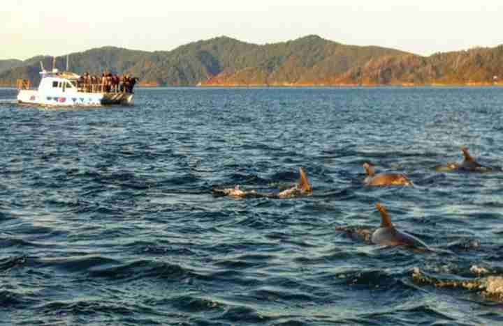 marlborough swim with the dolphins